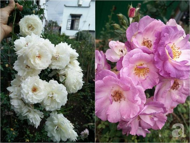 Bí quyết chăm sóc hoa hồng nở form đẹp, sai hoa như thợ vườn chuyên nghiệp của mẹ đảm ở Đak Lak - Ảnh 14.