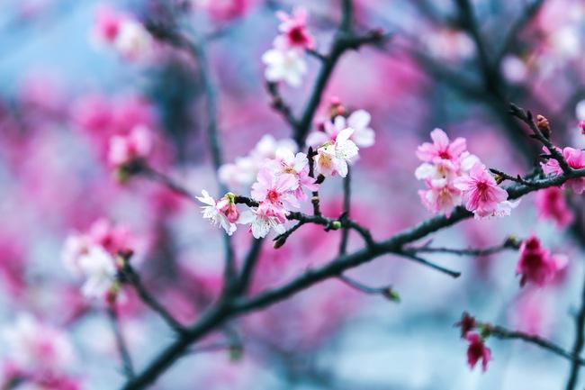 Ngay ở Hà Nội, có một nơi anh đào bung nở đẹp đẽ mà chẳng cần đợi lễ hội hoa - Ảnh 1.