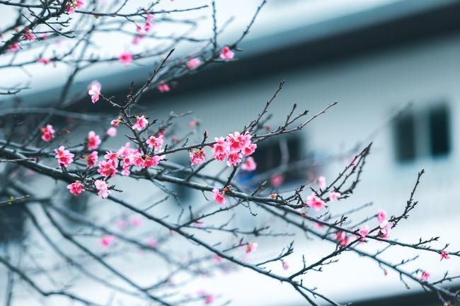 Ngay ở Hà Nội, có một nơi anh đào bung nở đẹp đẽ mà chẳng cần đợi lễ hội hoa - Ảnh 11.