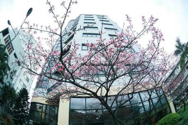 Ngay ở Hà Nội, có một nơi anh đào bung nở đẹp đẽ mà chẳng cần đợi lễ hội hoa - Ảnh 12.
