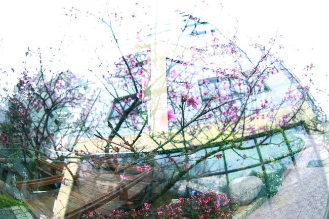Ngay ở Hà Nội, có một nơi anh đào bung nở đẹp đẽ mà chẳng cần đợi lễ hội hoa - Ảnh 13.
