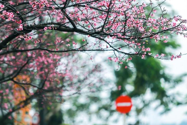 Ngay ở Hà Nội, có một nơi anh đào bung nở đẹp đẽ mà chẳng cần đợi lễ hội hoa - Ảnh 17.