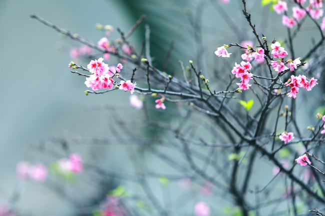 Ngay ở Hà Nội, có một nơi anh đào bung nở đẹp đẽ mà chẳng cần đợi lễ hội hoa - Ảnh 19.