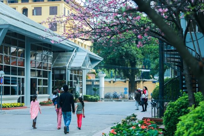 Ngay ở Hà Nội, có một nơi anh đào bung nở đẹp đẽ mà chẳng cần đợi lễ hội hoa - Ảnh 5.