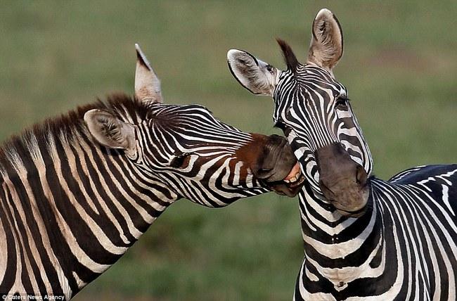 Những hình ảnh hơn vạn lời nói cho thấy động vật cũng có tình yêu đẹp thế này - Ảnh 6.