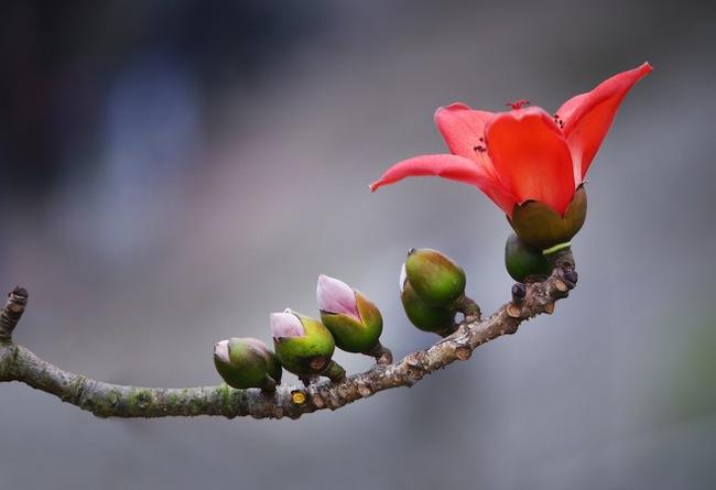 Tháng 3 mùa hoa gạo, đừng bỏ lỡ những bài thuốc chữa bệnh quý báu từ loại cây quen thuộc này - Ảnh 1.