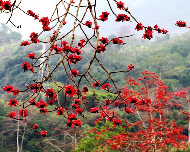 Tháng 3 mùa hoa gạo, đừng bỏ lỡ những bài thuốc chữa bệnh quý báu từ loại cây quen thuộc này - Ảnh 4.