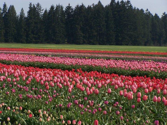 6 khu vườn hoa tulip chỉ nhìn thôi cũng khiến người ta ngất ngây bởi quá đẹp, quá rực rỡ - Ảnh 17.