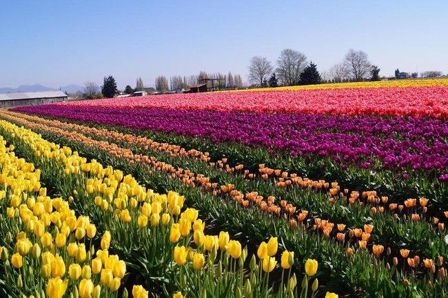6 khu vườn hoa tulip chỉ nhìn thôi cũng khiến người ta ngất ngây bởi quá đẹp, quá rực rỡ - Ảnh 9.