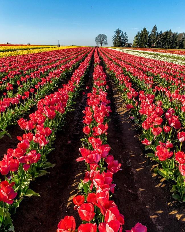 6 khu vườn hoa tulip chỉ nhìn thôi cũng khiến người ta ngất ngây bởi quá đẹp, quá rực rỡ - Ảnh 3.