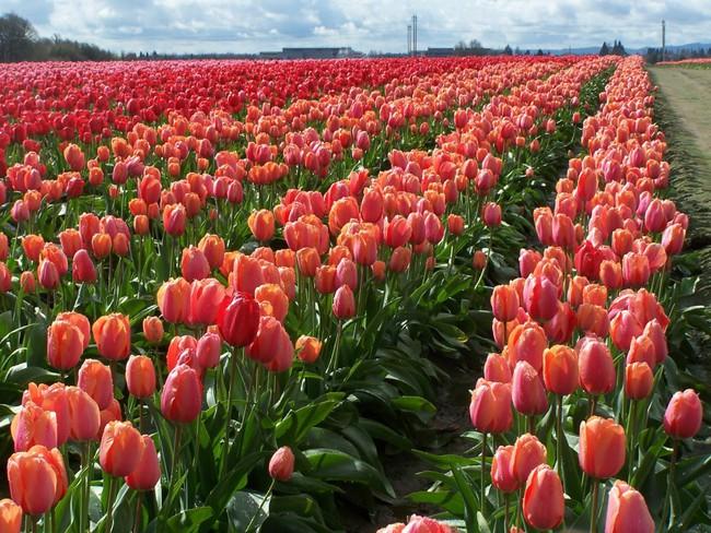 6 khu vườn hoa tulip chỉ nhìn thôi cũng khiến người ta ngất ngây bởi quá đẹp, quá rực rỡ - Ảnh 18.
