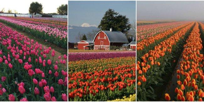 6 khu vườn hoa tulip chỉ nhìn thôi cũng khiến người ta ngất ngây bởi quá đẹp, quá rực rỡ - Ảnh 1.