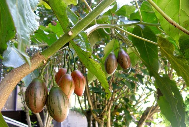 Hướng dẫn cách trồng cà chua thân gỗ Tamarillo đang vô cùng hot hiện nay - Ảnh 2.