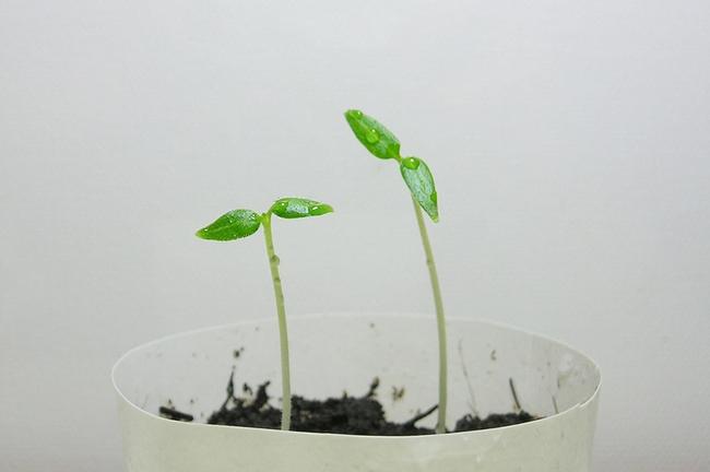 Hướng dẫn cách trồng cà chua thân gỗ Tamarillo đang vô cùng hot hiện nay - Ảnh 4.