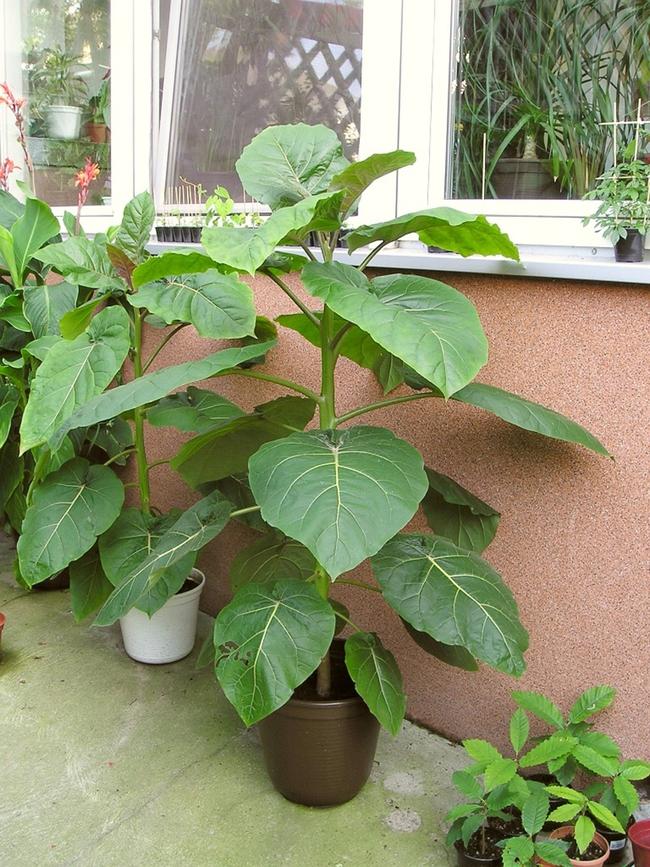 Hướng dẫn cách trồng giống cà chua thân gỗ Tamarillo đang vô cùng hot hiện nay - Ảnh 6.