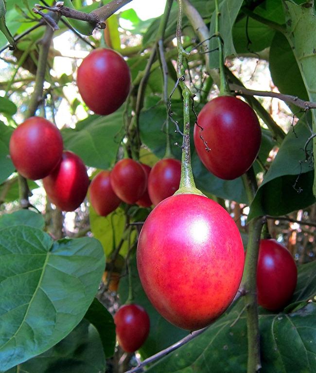 Hướng dẫn cách trồng cà chua thân gỗ Tamarillo đang vô cùng hot hiện nay - Ảnh 7.