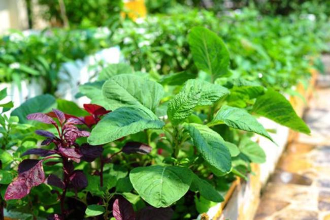 4 mẹo siêu hay khi trồng rau đay, rau dền để cả hè không lo thiếu rau ăn - Ảnh 1.