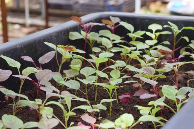 4 mẹo siêu hay khi trồng rau đay, rau dền để cả hè không lo thiếu rau ăn - Ảnh 7.