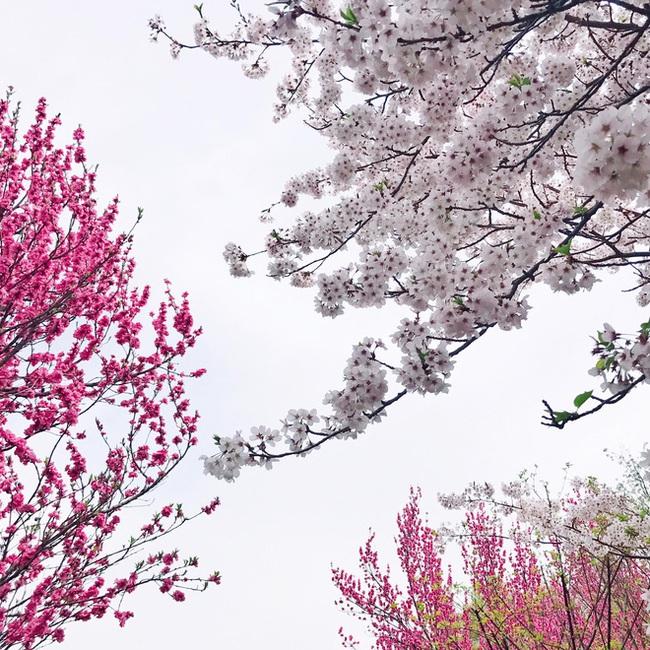 Ra đây mà xem người ta kéo nhau sang Nhật ngắm hoa anh đào hết rồi! - Ảnh 21.