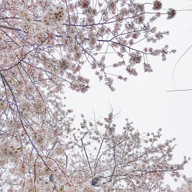 Ra đây mà xem người ta kéo nhau sang Nhật ngắm hoa anh đào hết rồi! - Ảnh 22.