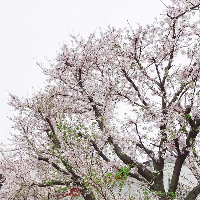 Ra đây mà xem người ta kéo nhau sang Nhật ngắm hoa anh đào hết rồi! - Ảnh 25.