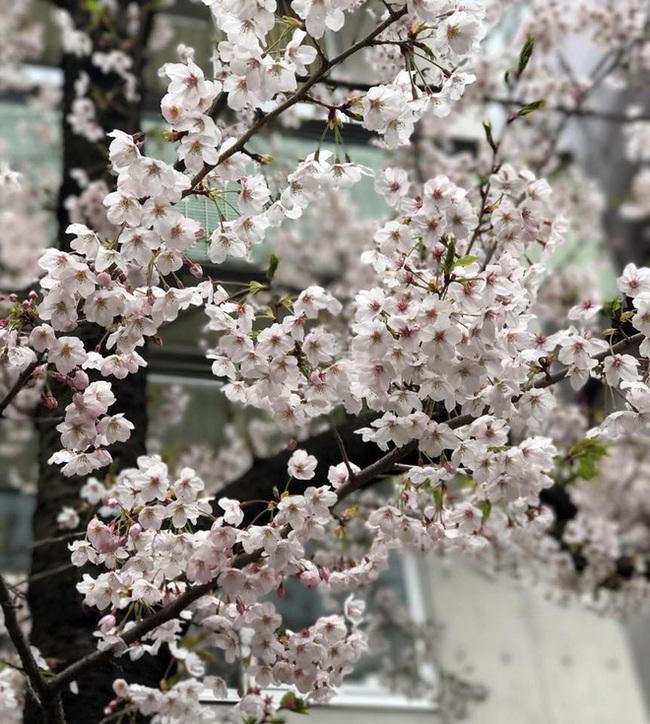 Ra đây mà xem người ta kéo nhau sang Nhật ngắm hoa anh đào hết rồi! - Ảnh 28.