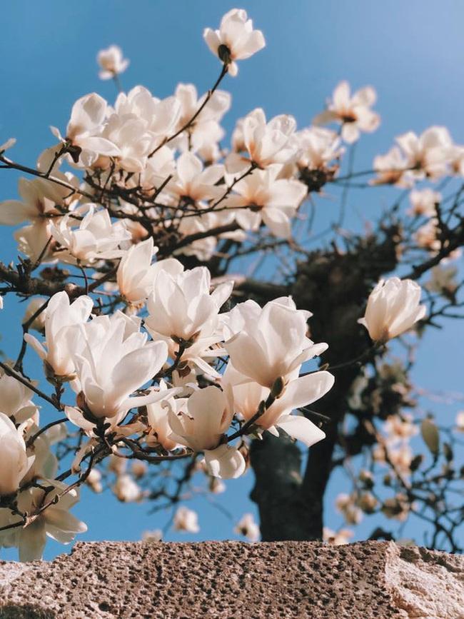 Ra đây mà xem người ta kéo nhau sang Nhật ngắm hoa anh đào hết rồi! - Ảnh 29.