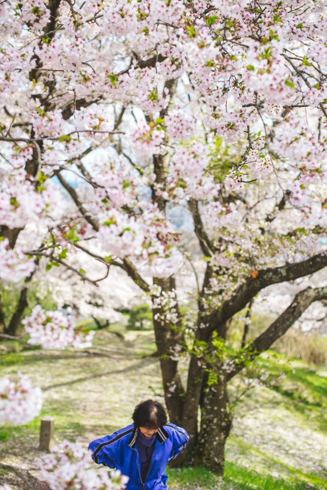 Ra đây mà xem người ta kéo nhau sang Nhật ngắm hoa anh đào hết rồi! - Ảnh 10.