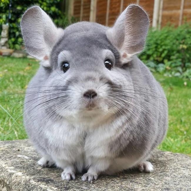 Nhìn qua cứ tưởng cục bông, lại gần ai cũng phải tan chảy trái tim với con vật đáng yêu này - Ảnh 7.