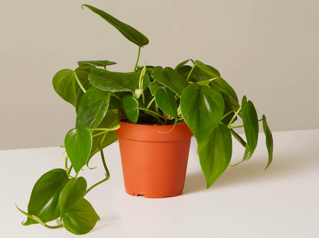 10 loại cây cảnh đẹp, dễ mua lại có tác dụng loại bỏ độc tố trong nhà - Ảnh 8.