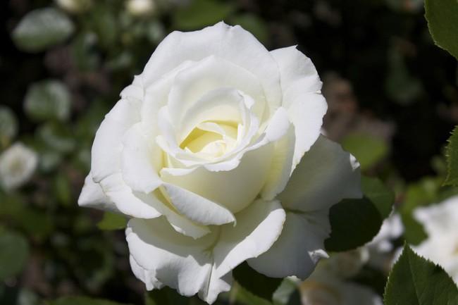 8 loài hoa được lấy cảm hứng từ các thành viên của gia đình Hoàng gia Anh bạn có thể trồng trong vườn nhà mình - Ảnh 1.