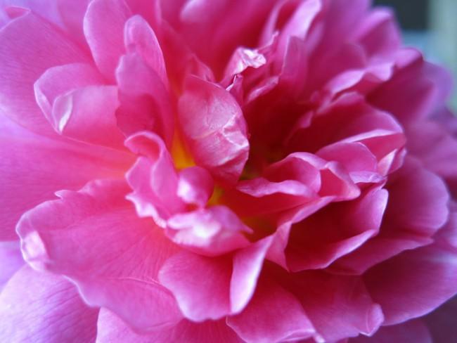 8 loài hoa được lấy cảm hứng từ các thành viên của gia đình Hoàng gia Anh bạn có thể trồng trong vườn nhà mình - Ảnh 4.