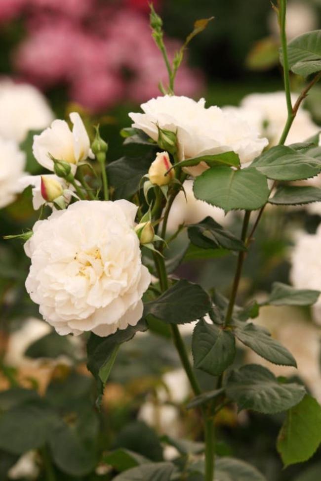 8 loài hoa được lấy cảm hứng từ các thành viên của gia đình Hoàng gia Anh bạn có thể trồng trong vườn nhà mình - Ảnh 5.