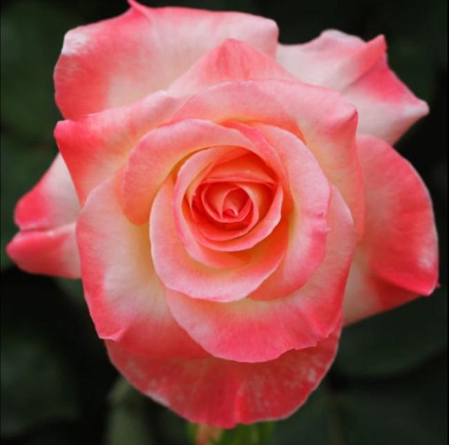8 loài hoa được lấy cảm hứng từ các thành viên của gia đình Hoàng gia Anh bạn có thể trồng trong vườn nhà mình - Ảnh 8.