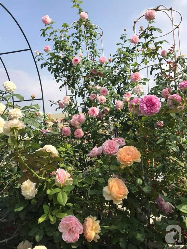 Sau 3 năm trồng hoa hồng, người phụ nữ Hà Nội đã sở hữu một vườn hồng thơm ngào ngạt trên sân thượng - Ảnh 14.