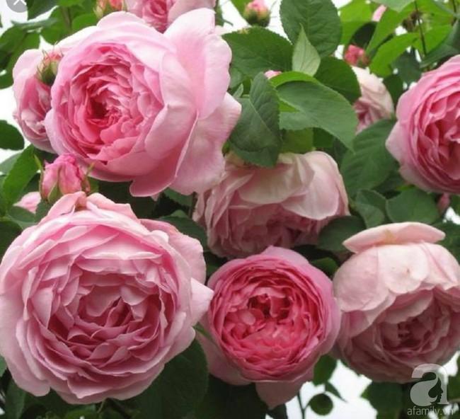 Choáng ngợp trước vườn hoa hồng vài nghìn gốc của mẹ trẻ xinh đẹp ở Thái Nguyên - Ảnh 7.
