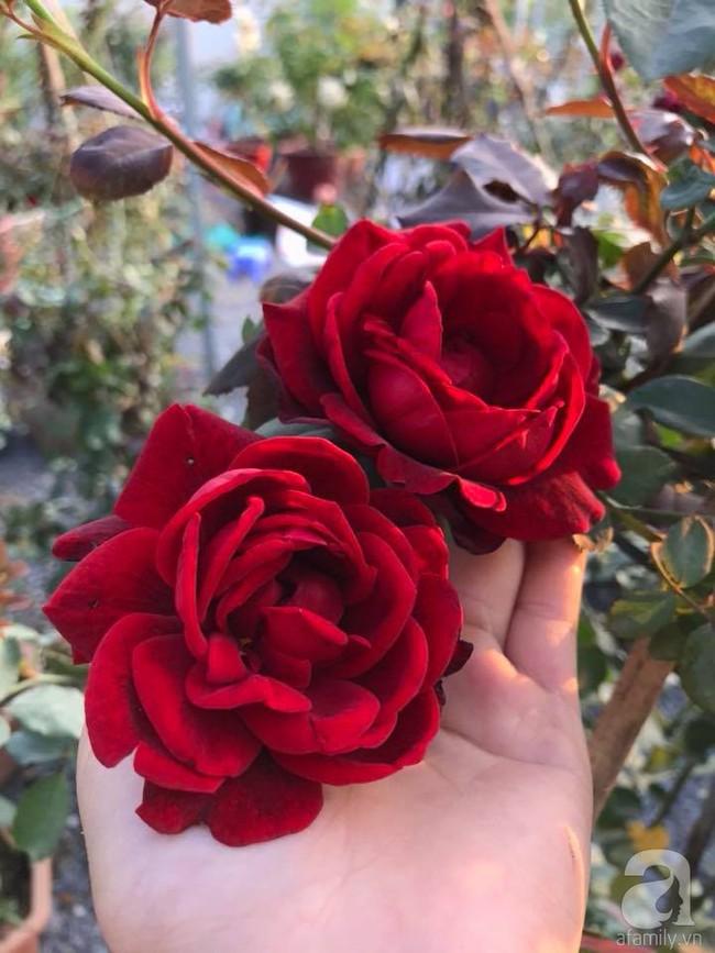 Choáng ngợp trước vườn hoa hồng vài nghìn gốc của mẹ trẻ xinh đẹp ở Thái Nguyên - Ảnh 6.