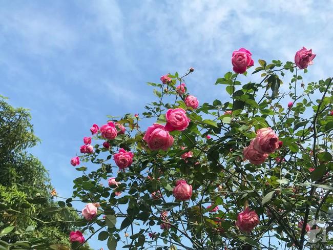 Choáng ngợp trước vườn hoa hồng vài nghìn gốc của mẹ trẻ xinh đẹp ở Thái Nguyên - Ảnh 5.
