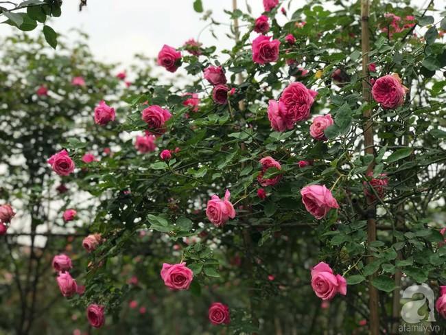 Choáng ngợp trước vườn hoa hồng vài nghìn gốc của mẹ trẻ xinh đẹp ở Thái Nguyên - Ảnh 4.