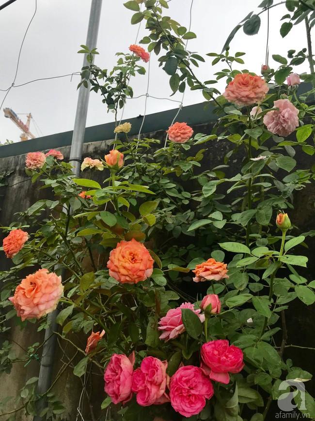 Sau 3 năm trồng hoa hồng, người phụ nữ Hà Nội đã sở hữu một vườn hồng thơm ngào ngạt trên sân thượng - Ảnh 20.