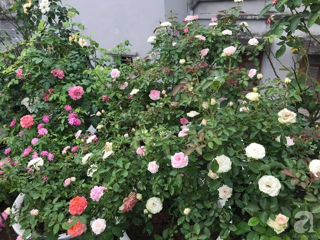 Sau 3 năm trồng hoa hồng, người phụ nữ Hà Nội đã sở hữu một vườn hồng thơm ngào ngạt trên sân thượng - Ảnh 19.