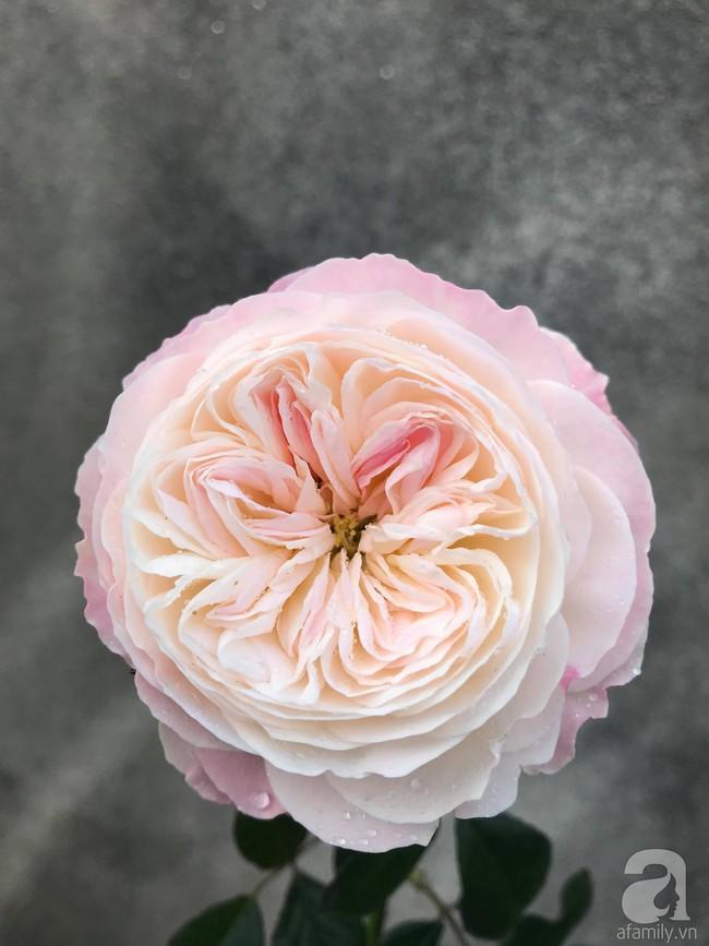 Sau 3 năm trồng hoa hồng, người phụ nữ Hà Nội đã sở hữu một vườn hồng thơm ngào ngạt trên sân thượng - Ảnh 16.