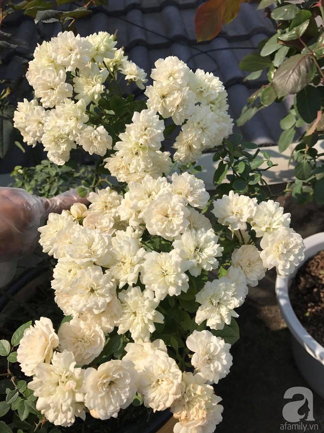 Sau 3 năm trồng hoa hồng, người phụ nữ Hà Nội đã sở hữu một vườn hồng thơm ngào ngạt trên sân thượng - Ảnh 15.