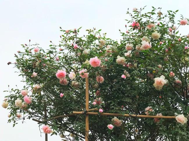 Choáng ngợp trước vườn hoa hồng vài nghìn gốc của mẹ trẻ xinh đẹp ở Thái Nguyên - Ảnh 12.