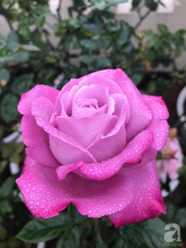 Sau 3 năm trồng hoa hồng, người phụ nữ Hà Nội đã sở hữu một vườn hồng thơm ngào ngạt trên sân thượng - Ảnh 9.