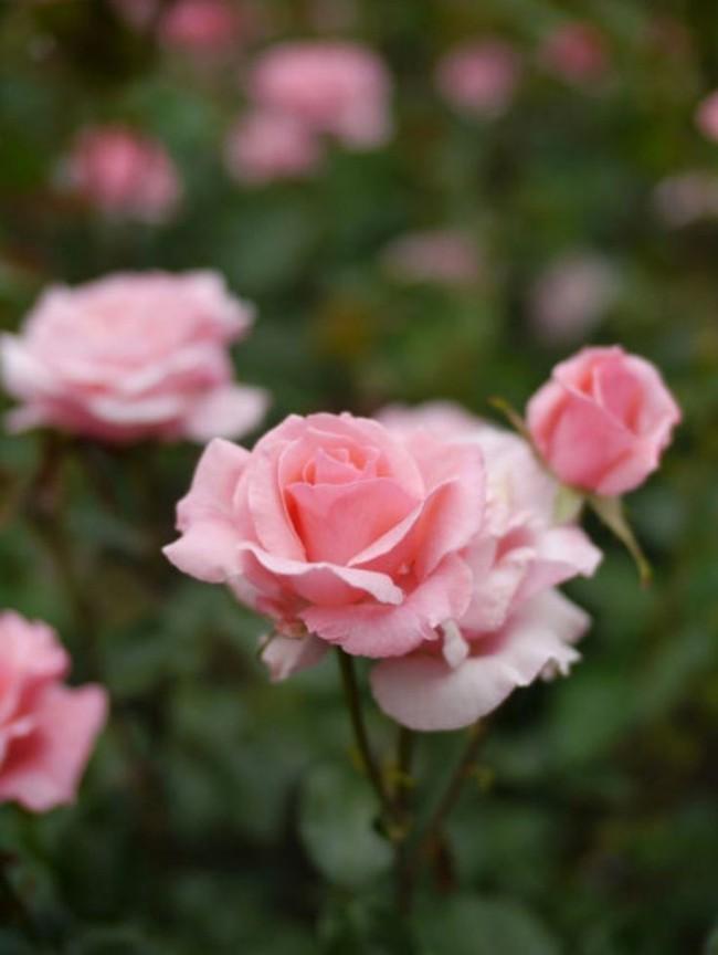 8 loài hoa được lấy cảm hứng từ các thành viên của gia đình Hoàng gia Anh bạn có thể trồng trong vườn nhà mình - Ảnh 2.