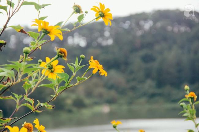 Tháng 11, về Đà Lạt ngắm hoa dã quỳ nở vàng rực rỡ khắp các nẻo đường đi - Ảnh 5.