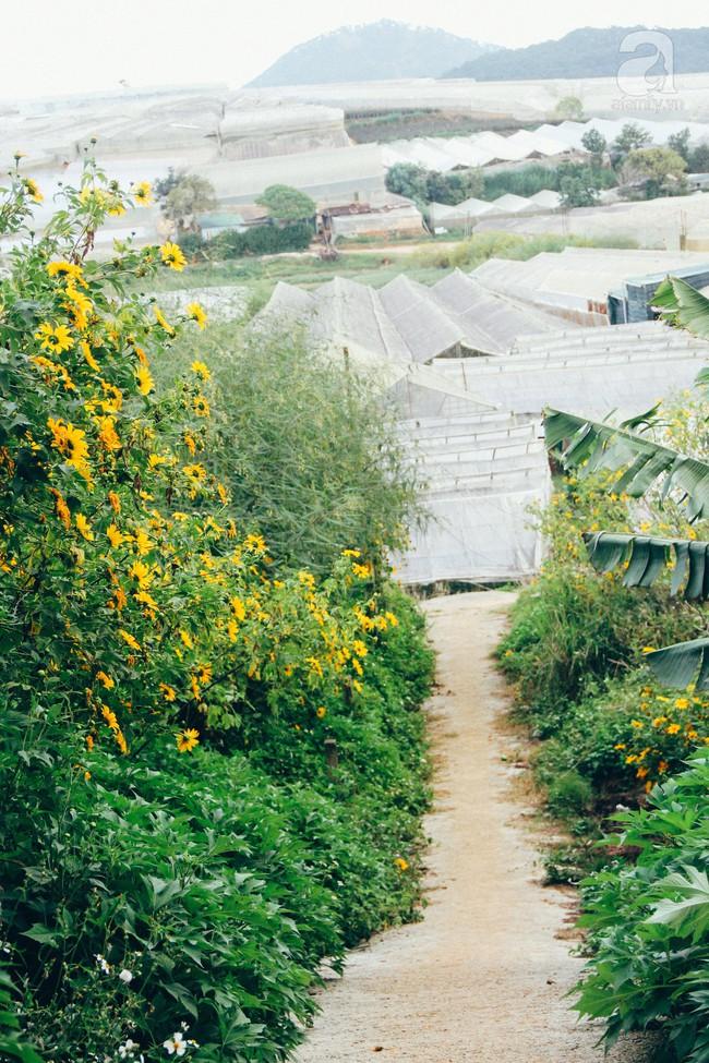Tháng 11, về Đà Lạt ngắm hoa dã quỳ nở vàng rực rỡ khắp các nẻo đường đi - Ảnh 3.
