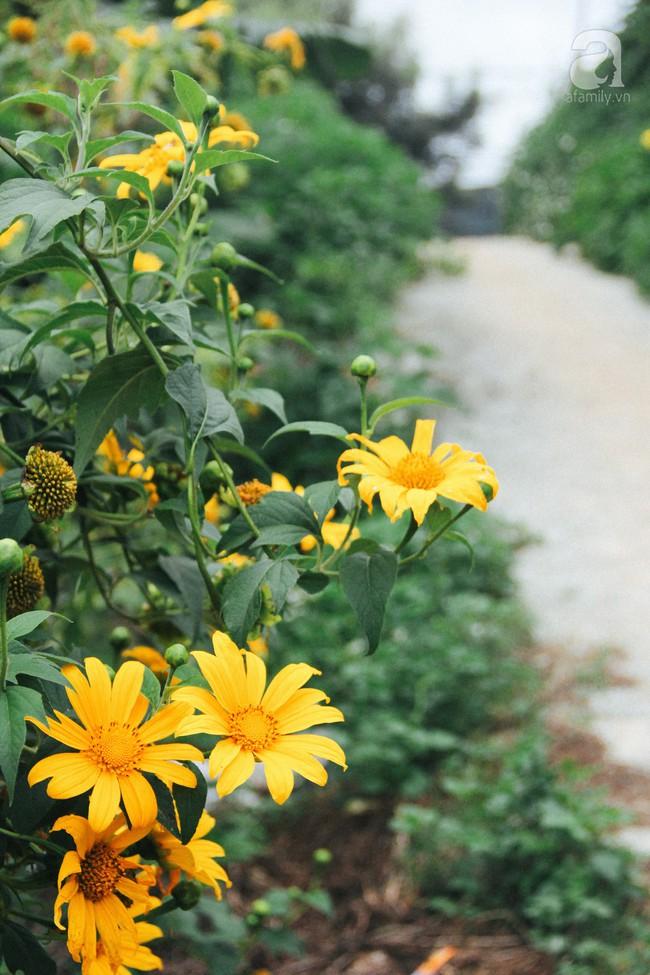 Tháng 11, về Đà Lạt ngắm hoa dã quỳ nở vàng rực rỡ khắp các nẻo đường đi - Ảnh 9.