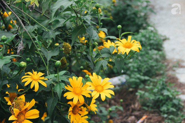 Tháng 11, về Đà Lạt ngắm hoa dã quỳ nở vàng rực rỡ khắp các nẻo đường đi - Ảnh 8.